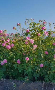 Zagatala land of roses