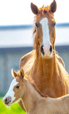 Horse riding in Baku