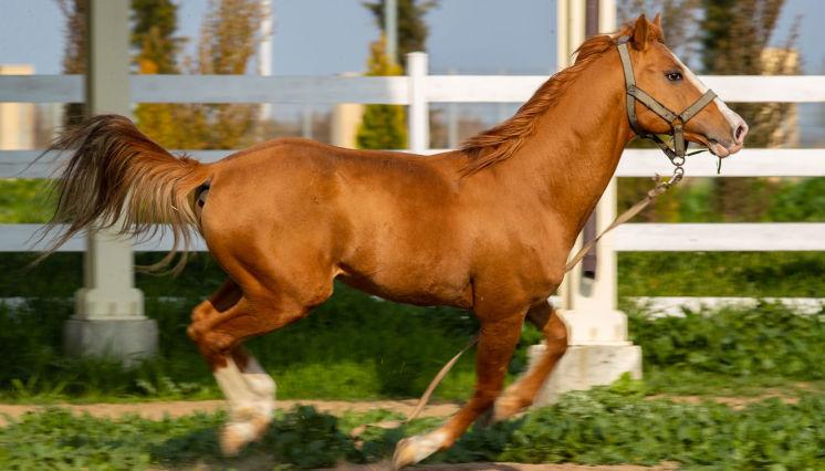 The Karabakh horse